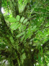 tropical hardwood rainforest tree closeup Costa Rica