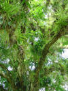 epiphytes on mango tree Costa Rica